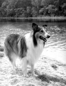 Lassie de beroemde Schotse collie